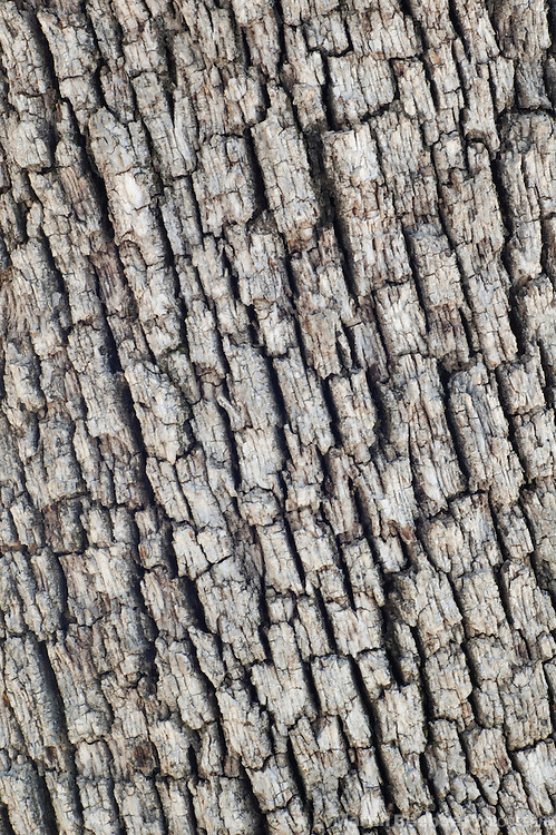 Bark pattern of Arizona white oak (Quercus arizonica), Coronado National Forest, Arizona