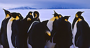 group of emperor penguins on the sea ice