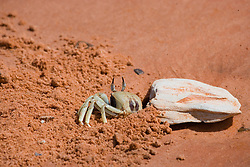 A small crab seeks shelter on the pindan sands of Crab Creek on the shores of Roebuck Bay.