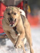 A sled dog looks at the camera as it heads into a turn at the 2010 Kalkaska Winterfest.
