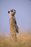 Meerkat or Suricate (Suricata suricatta)<br /> Makgadikgadi Pans, Kalahari Desert<br /> Northeast BOTSWANA<br /> HABITAT &amp; RANGE: Kalahari Desert in Botswana, Namib Desert of Namibia, Angola and South Africa