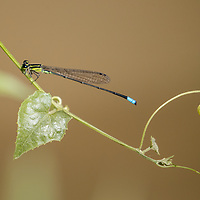 Acanthagrion kennedyi , Trinidad