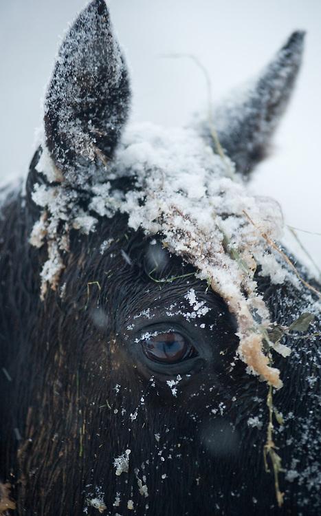 Alpaca in snowstorm