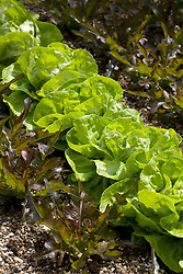 Lettuce 'Winter Gem' and L. 'Cocarde'