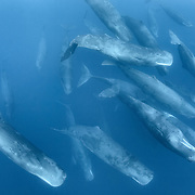 Aggregation of sperm whales (Physeter macrocephalus) engaged in social activity. These whales were part of much larger gathering comprising hundreds, if not thousands, of individuals. The large aggregation persisted for two days.