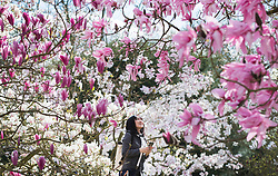 © Licensed to London News Pictures. 21/03/2017. London, UK. A visitors looks at colourful magnolia trees at the Royal Botanic Gardens Kew in afternoon sunshine.  Photo credit: Peter Macdiarmid/LNP