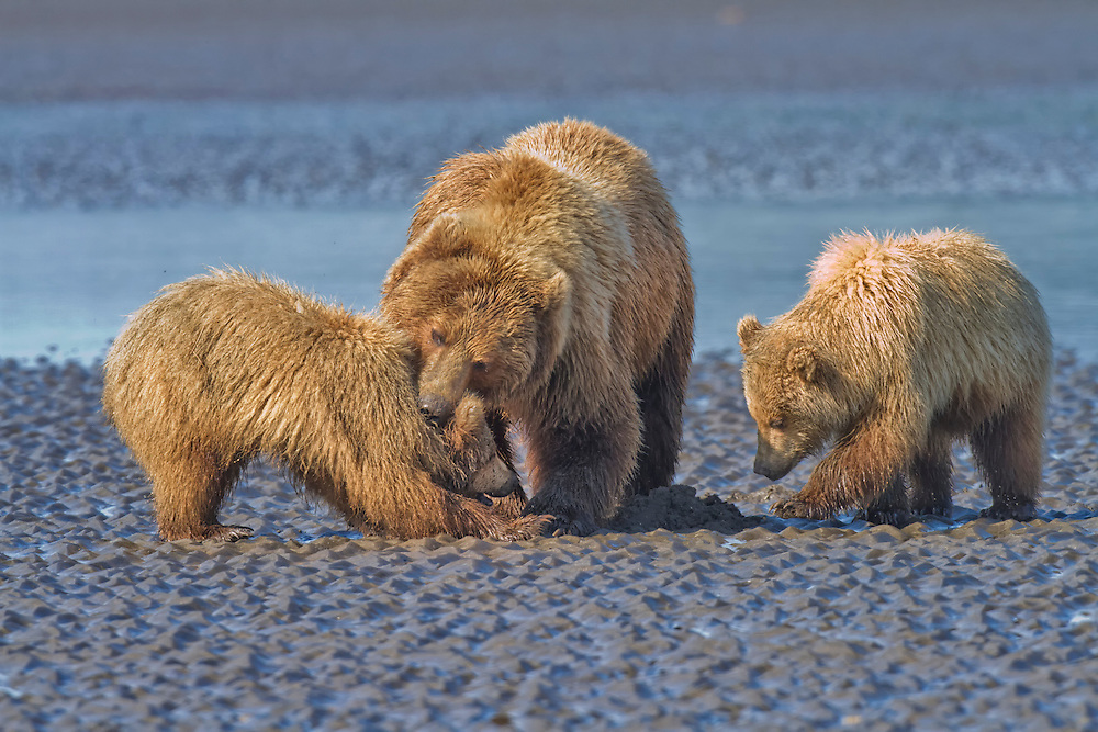 Coastal Brown Bear (Ursus arctos) mother and cub clambing on the mud flats. Lake Clark National Park, Silver Salmon Creek, Alaska.
