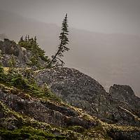 Misty hillside with pine