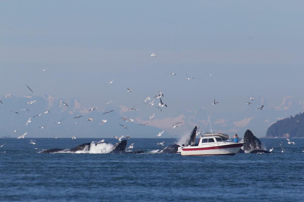 A small private boat gets a close view of the humpback whales (Megaptera Novaeangliae) bubblenet feeding near juneau.