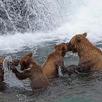 USA, Alaska, Katmai. Grizzly sow and her first-year cubs exploring Brooks Falls, Katmai National Park.