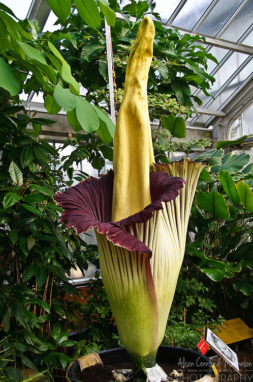 The titan arum or Amorphophallus titanum is one of the world's largest flowers. Its bloom can reach over 3 metres and only lasts for 4 days. When fully open, the flower smells like rotting flesh, to attract pollinators, earning it the nicknames carrion flower, corpse flower, or corpse plant.