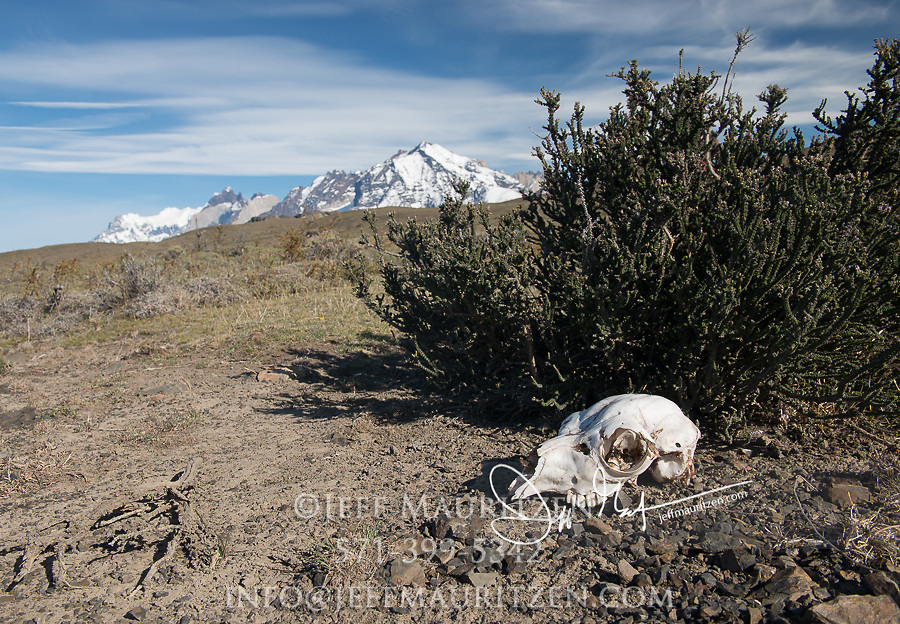 Skull of a Guanaco in Torres del Paine National Park, Chile.