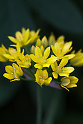 Allium moly - golden garlic