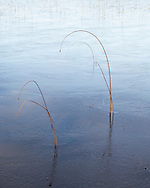 Thin reeds poke through an ice covered Loch a'Choarainn near Achnahaird in Scotland.
