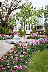 Tulips in the Greenhouse Borders at Manor Farm House in spring. Tulipa 'China Pink'. Glass globe water feature