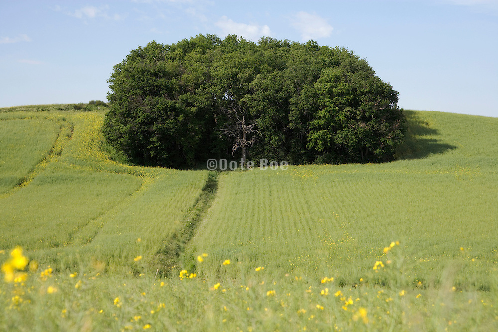 little wood standing in a colza meadow field in the Languedoc Aude France