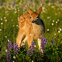 Deer, Columbian Blacktail