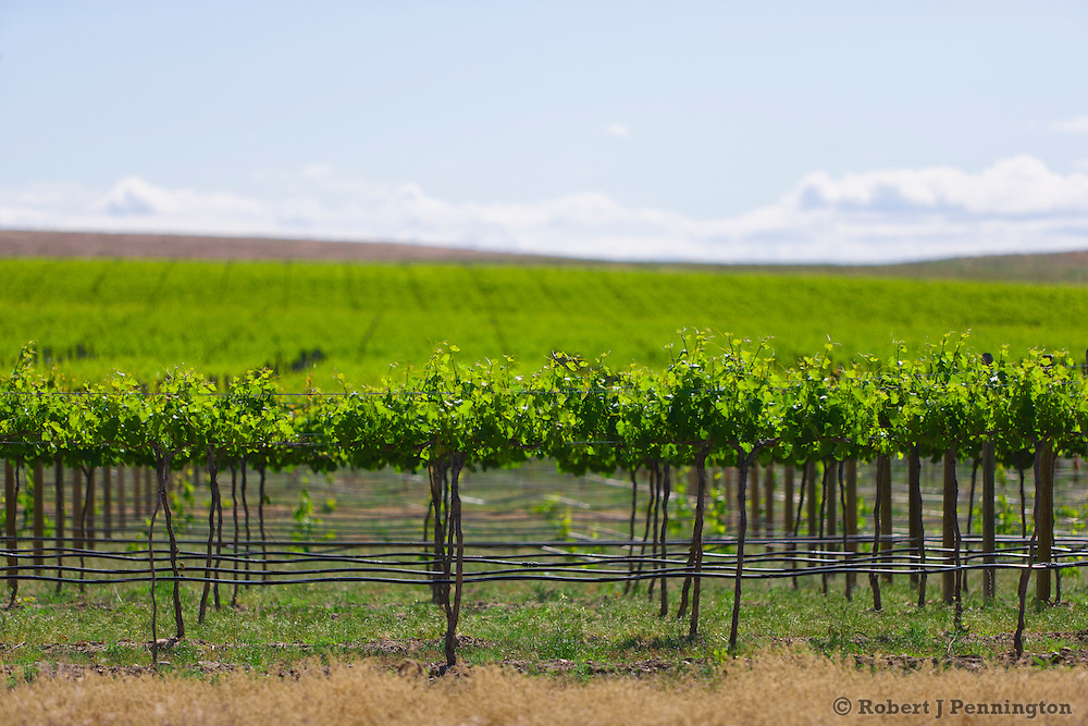Vineyard in the Yakima Valley of Eastern Washington, USA.