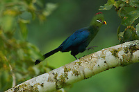 Yellow-billed Turaco (Tauraco schuetti)