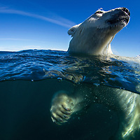 Canada, Nunavut Territory, Underwater view of Polar Bear (Ursus maritimus) swimming in Hudson Bay