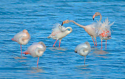 A flock of Greater Flamingo (Phoenicopterus roseus) in a water pool. Photographed in Israel In February