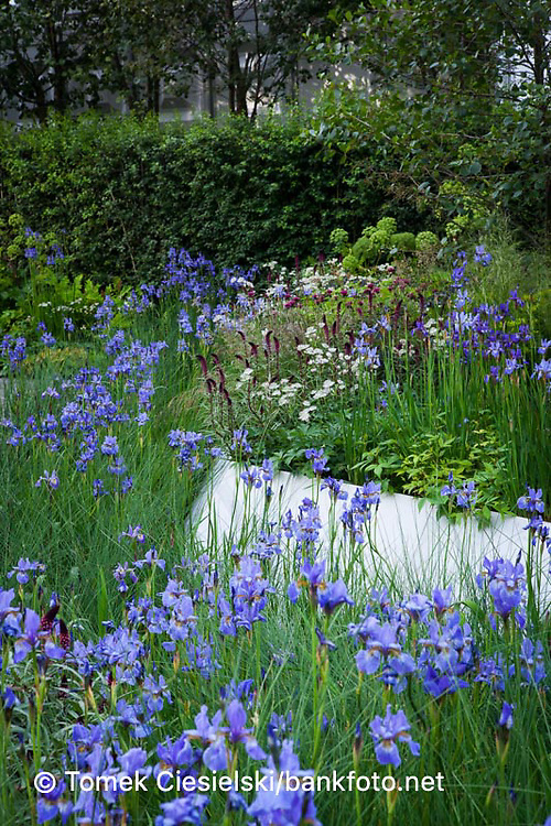 Mass planting of iris sibirica 'Gerald Darby' representing marginal planting water filtration. Damp loving plant combination.