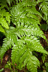 La Fortuna, Alajuela: Fern found deep in the Costa Rican rainforest.