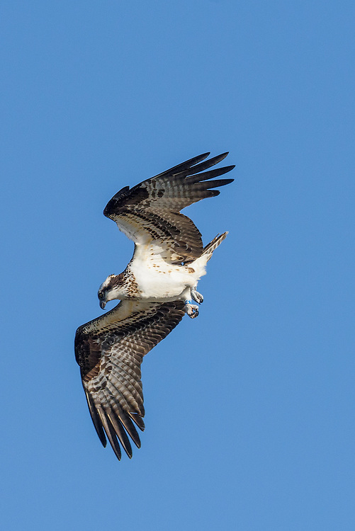 Osprey (J3) - third year female banded as a nestling in Montana in 2013.