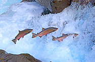 Coho Salmon (jumping waterfall)<br />