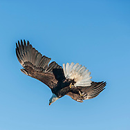 Bald eagle in flight against clear sky, diving with feet down in preparation for fish strike, © 2005 David A. Ponton