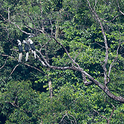 The white-crowned hornbill (Berenicornis comatus), also known as the long-crested hornbill or white-crested hornbill, is a species of hornbill. It is found is the southern parts of Thailand.