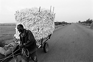 A cotton farmer takes some of his harvest along a road to the village to be weighed and then transported to a processing plant.<br /> Koundougou, Burkina Faso. 11/12/2003.<br /> Photo &copy; J.B. Russell