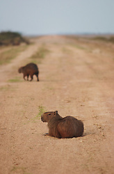 A Capybara, or Chiguire, crosses the road in Los Llanos, Venezuela