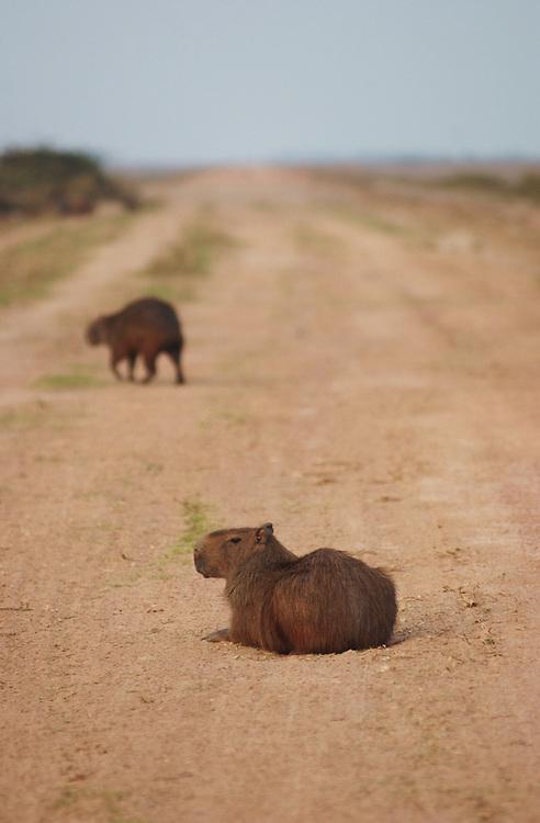 A Capybara, or Chiguire, crosses the road in Los Llanos, Venezuela