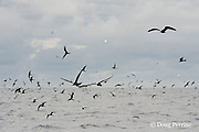 brown noddy terns, Anous stolidus, white terns, Gygis alba, and other seabirds mark a school of skipjack tuna, Vava'u, Kingdom of Tonga, South Pacific