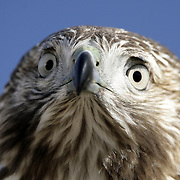 Tommy Kinsch (tommy@kinsch.com) Immature Red-Tailed Hawk