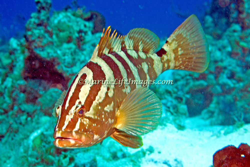 Nassau Grouper inhabit reefs in Tropical West Atlantic; picture taken San Salvador, Bahamas.