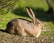 A black-tailed jackrabbit warms itself in the sun next to a bush