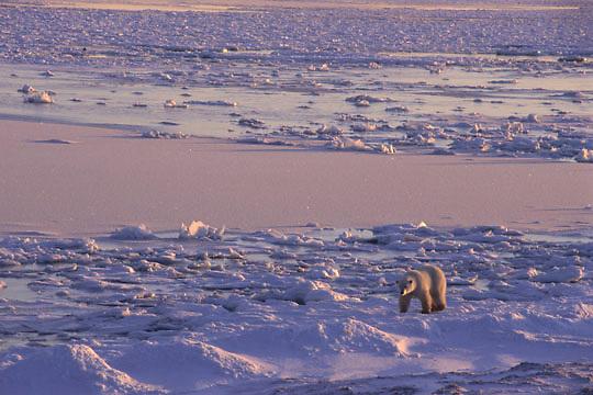 Polar Bear, (Ursus maritimus) Hudson Bay. Churchill, Manitoba. Canada.