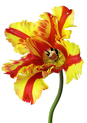 Flaming Parrot Tulip Yellow,Red