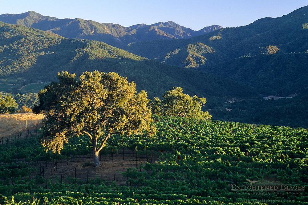 Oak tree at sunset in vineyard, Galante Vineyards, above Carmel Valley, Monterey County, California