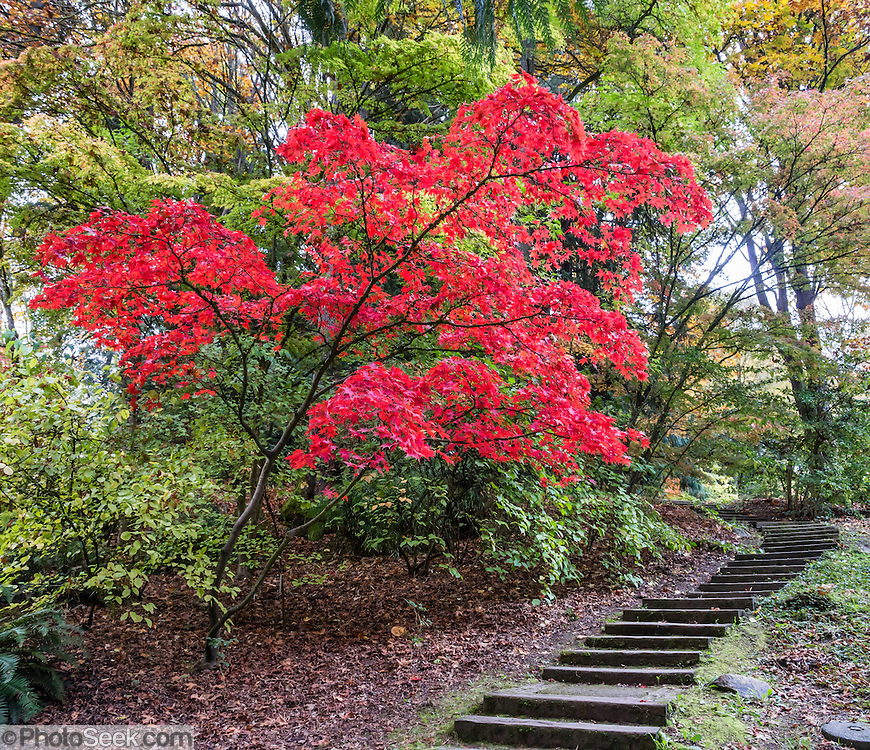 Japanese maple tree leaves glow red in autumn over path steps at UW Arboretum. Washington Park Arboretum is a joint project of the University of Washington, the Seattle Department of Parks and Recreation, and the nonprofit Arboretum Foundation, in the State of Washington, USA. Photographed October 22.  The panorama was stitched from 2 overlapping photos.