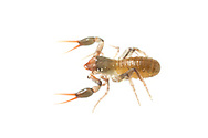 Pseudoscorpion (Kleptochthonius griseomanus)<br /> United States: Alabama: Tuscaloosa Co.<br /> Tulip Tree Springs off Echola Rd.; Elrod<br /> 23-Dec-2017<br /> J.C. Abbott #3012