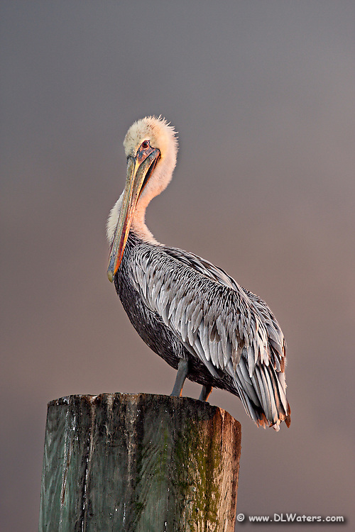 A Brown pelican changing into its winter breeding plumage. Once it's finished molting its brown head will turn yellow. Photographed on Ocracoke Island North Carolina.