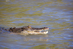 A crocodile surfaces in the Sale River on the Kimberley coast