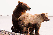 USA, Katmai National Park (AK).Coastal brown bear (Ursus arctos) sow with cub