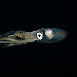 Squid, Unknown