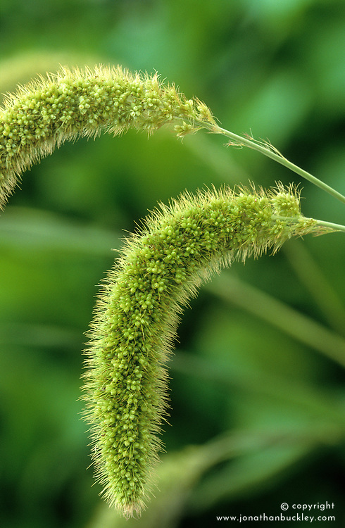 Setaria viridis