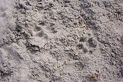 Cheetah prints in the sand. The female and mother who made these had successfully killed a female reedbuck.
