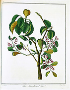 Manicheel tree (Hippomane mancinella) or Poison Guava: Caribbean and Gulf of Mexico. Very poisonous fruits, but inviting, killed Conquistadors. Carib Indians used sap to poison arrows. Engraving c.1795